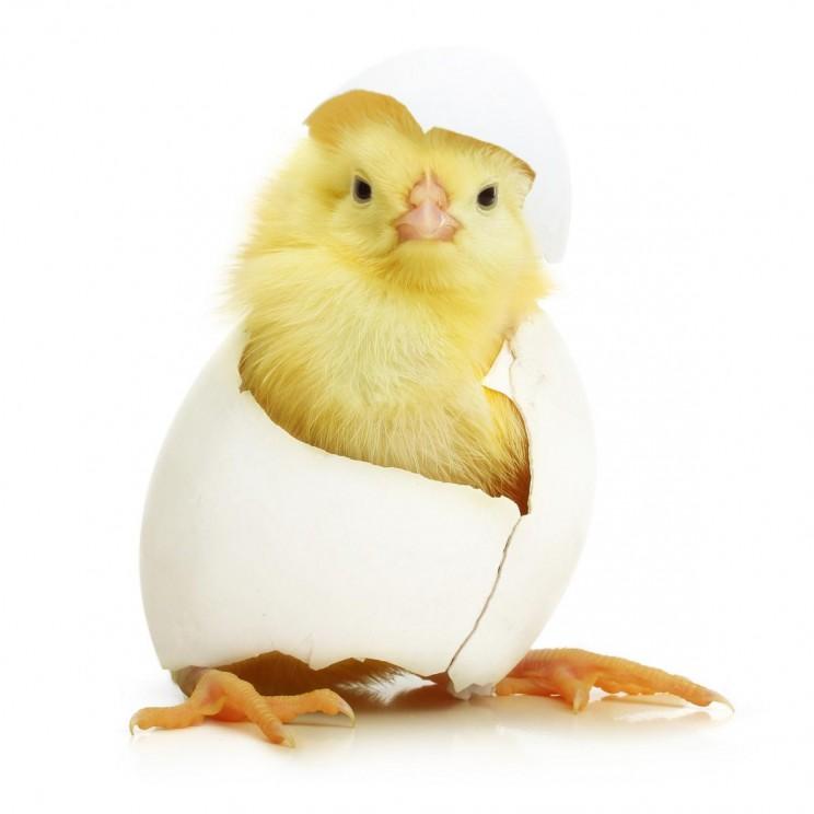 pulcino-uovo