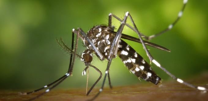 albopictus