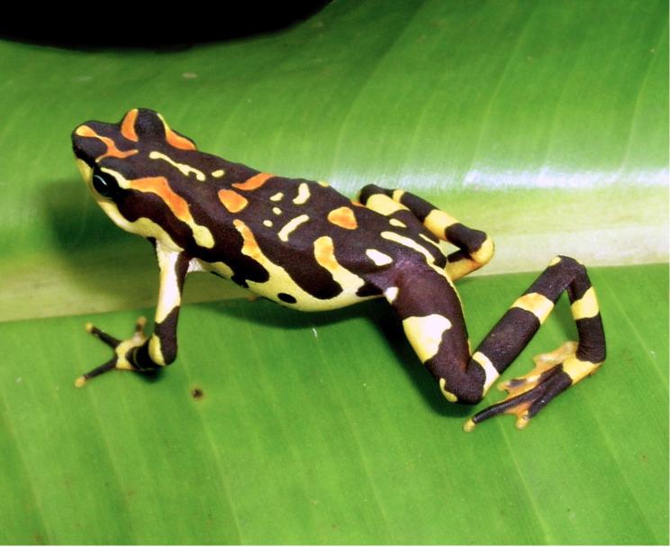 Atelopus varius, da https://www.iucnredlist.org/species/54560/11167883